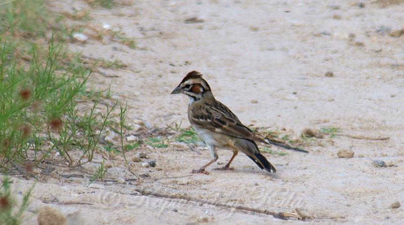 My First Lark Sparrow