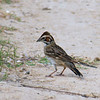 My First Lark Sparrow