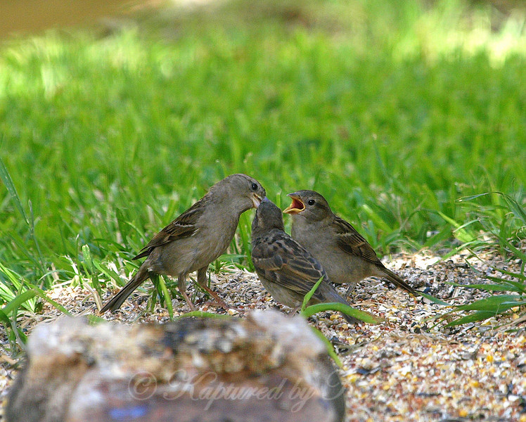Mother Sparrow With Two Mouths to Feed
