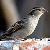 House Sparrow Trying to Look Noble