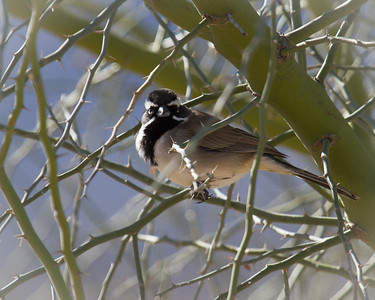 Another Black-throated Sparrow