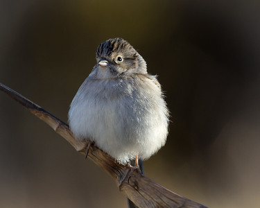 Brewer's Sparrow 10