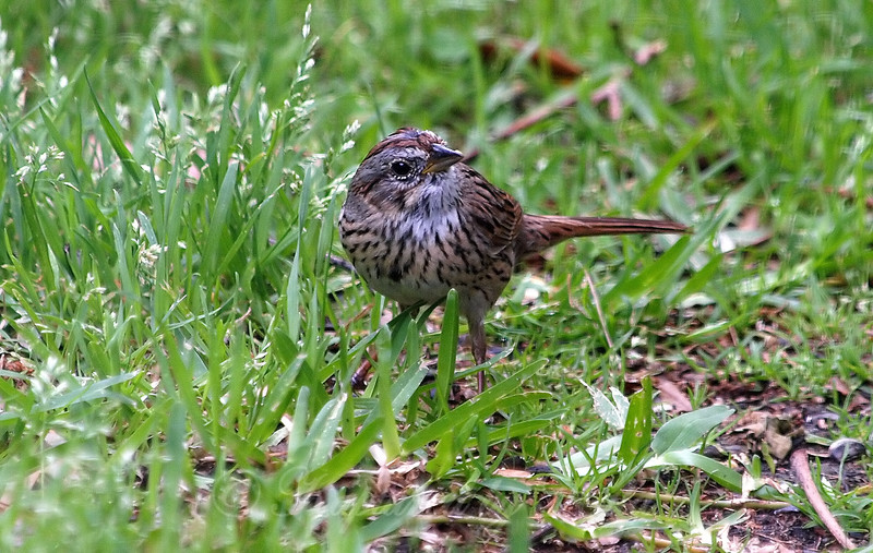 Lincoln's Sparrow View 2