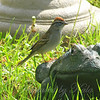 Chipping Sparrow On My Bulfrog View 1