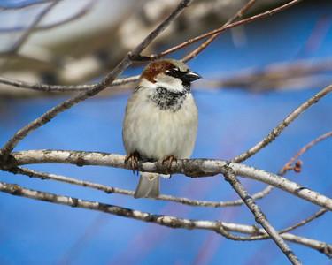 sparrow on limb-5693