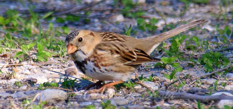 Immature Harris' Sparrow