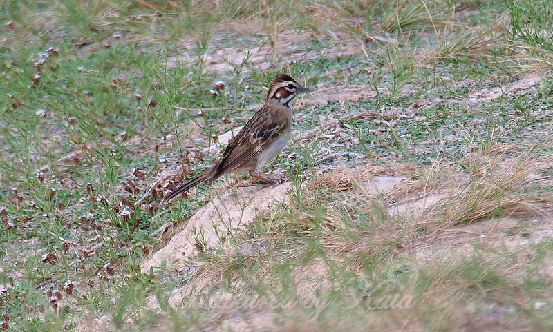 Migrant Sparrow