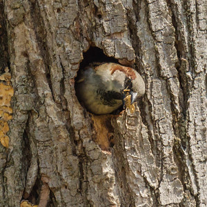 sparrow in tree hole w food-1