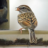 Tiny Little Chipping Sparrow