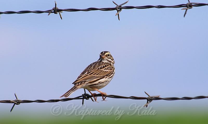 Savannah Sparrow On Texas Barbed Wire