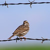Savannah Sparrow On Texas Barbed Wire
