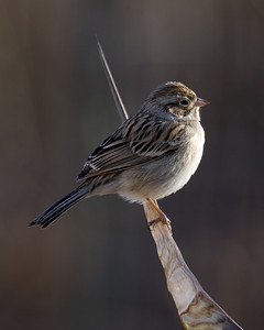 Brewers Sparrow ?