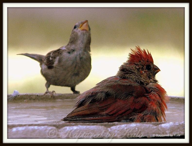 Juvenile Male Cardinal Soaking in Birdbath on a 100+ Degree Day