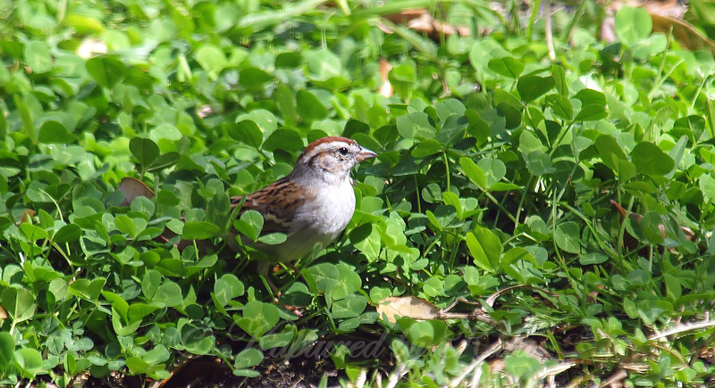 Chipping Sparrow in the Clover