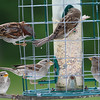 Sparrows on Feeder