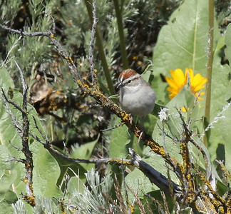 Chipping sparrow, Snow Mountain Ranch, 2014