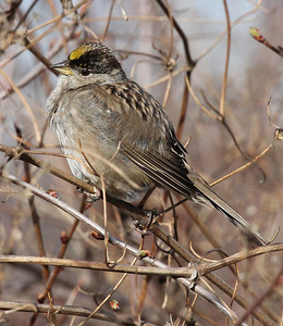 Golden-crowned Sparrow, Yakima Greenway
