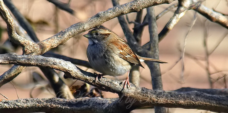 White-throated Sparrow On My Crepe Myrtle