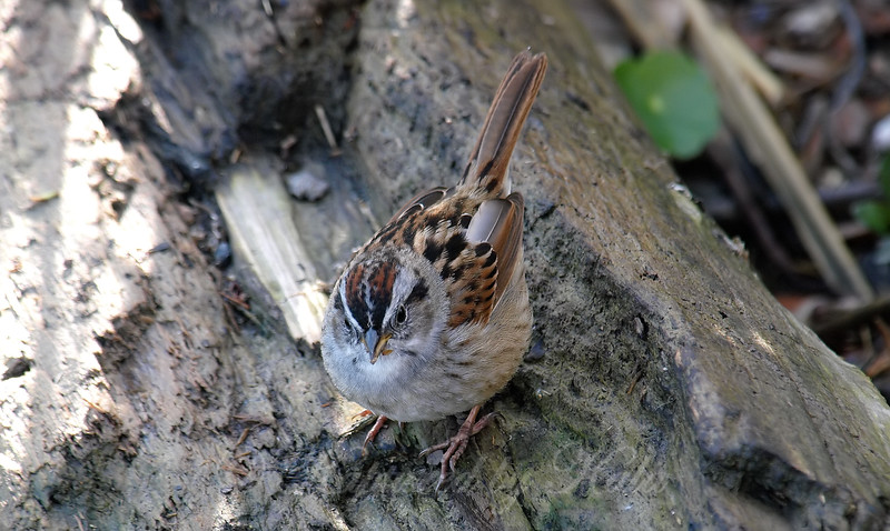 Swamp Sparrow View 1