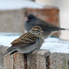 Chipping Sparrow Gets Closer To Me