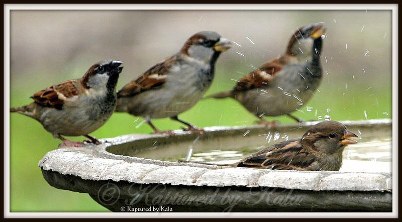 3 Male Sparrows Watching a Female Sparrow Take a Bath