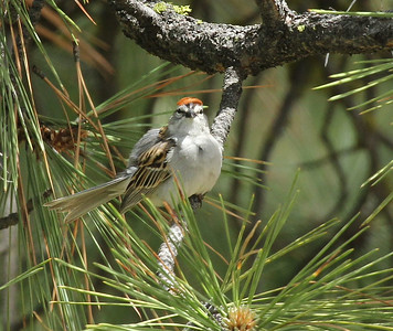 Chipping Sparrow, Wenas Area