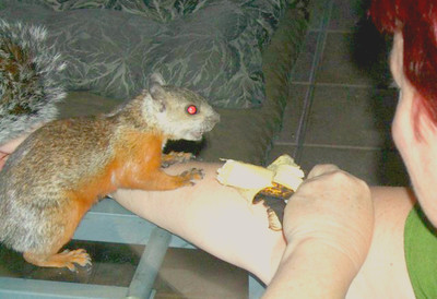 How many people can get a wild squirrel to jump up on their desk & come over & ON MY ART - to get some banana!!!  It took MANY months of developing the relationship but it happened!!  It takes a special energy to create this type of TRUST - for BOTH of us!!!