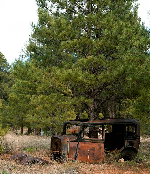 Which came first?  The car or the tree?  An early Ford was placed in the forest over a seedling pine tree, which grew quite tall.