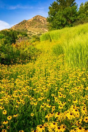 Black-Eyed Susans and Rocky Ridge, Red Butte Gardens, Salt Lake City, Utah