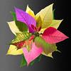 0412-4225 Rainbow Poinsettia v2 Master