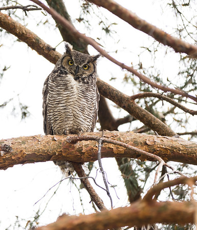 Great Horned Owls in my front yard