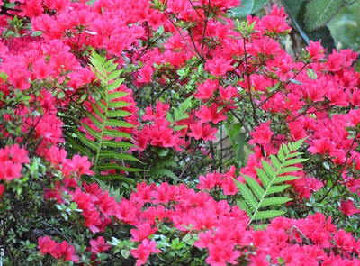 Springtime Magic: Azaleas and Ferns