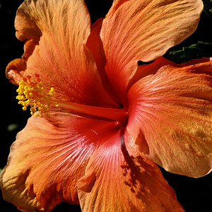 Hibiscus Bloom in the California Sun
