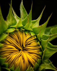 "Project 52-2012 Week #33 ""TEXTURES""   365081112 For Christine - I love that I see you in every sunflower ... still."