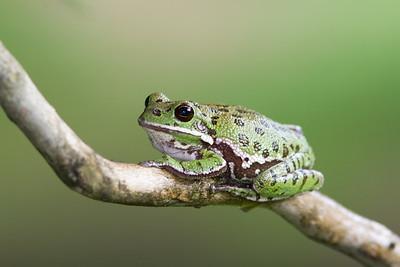 Frog - Unprocessed Original