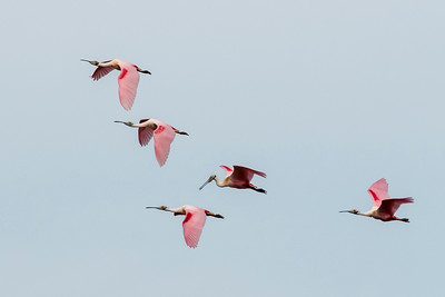 Roseate Spoonbills by Dave Warren