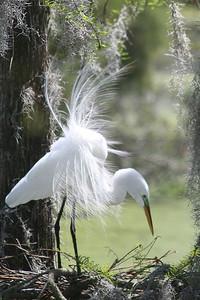 12 Male Egret