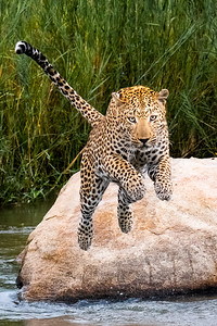 9 Leaping Leopard