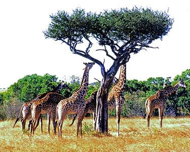 14 Masi Mara Giraffes