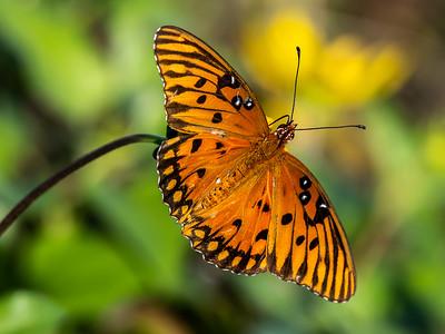 16 Monarch