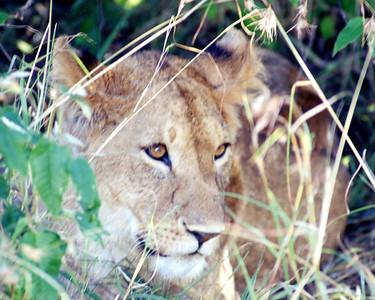 15 Masi Mara Lioness