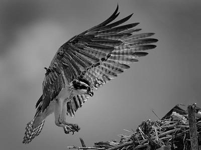 Osprey Landing  - Score 20