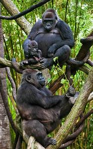 Gorilla Family - Score 23