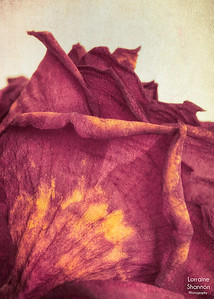 13. Details of a Red Rose