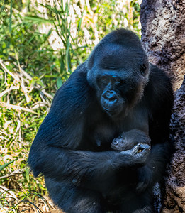 Mother Silverback