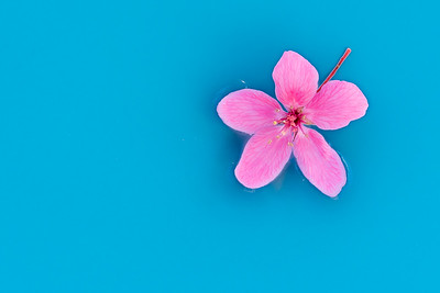 Pink Flower on Blue Water