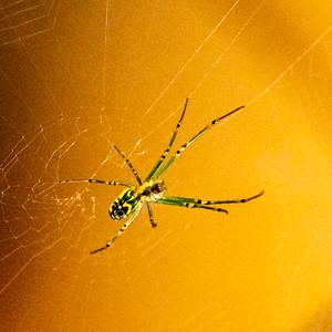 Upsidedown  Spider