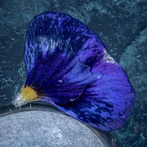 Petal in Ice