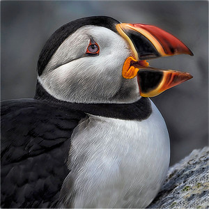 atlantic puffin #2
