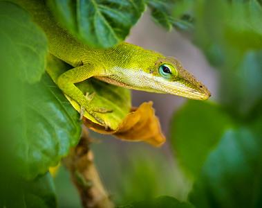 Chameleon in Green